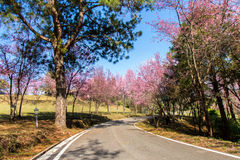 Wild Himalayan Cherry flower (Prunus cerasoides)  cherry blossom Royalty Free Stock Image