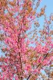 Wild Himalayan Cherry flower (Prunus cerasoides)  cherry blossom Stock Image
