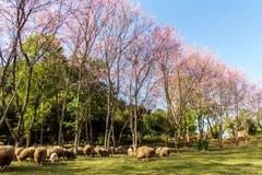 Wild Himalayan Cherry flower (Prunus cerasoides)  with sheep Stock Photos