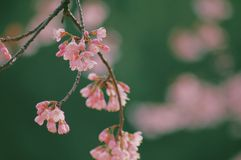 Wild Himalayan Cherry Royalty Free Stock Images