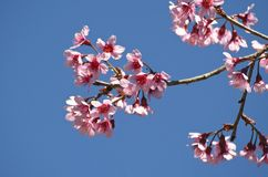 Wild himalayan cherry flower Royalty Free Stock Photos
