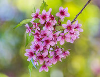 Wild Himalayan Cherry flower Royalty Free Stock Images