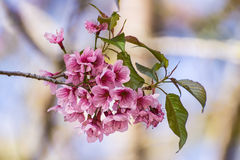 Wild Himalayan Cherry flower ,Thai  Sakura blossom Stock Photography