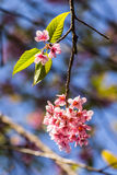 Wild Himalayan Cherry flower ,Thai  Sakura blossom Royalty Free Stock Photography
