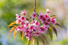 Wild Himalayan Cherry flower ,Thai  Sakura blossom Royalty Free Stock Images