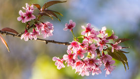 Wild Himalayan Cherry flower ,Thai  Sakura blossom Stock Photos