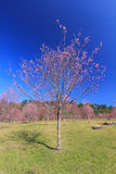 Wild Himalayan Cherry flower(Thailand's sakura or Prunus cerasoides)at Phu Lom Lo mountain, Loei ,Thailand. Royalty Free Stock Images