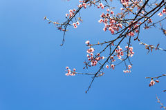 Wild Himalayan Cherry flower(Thailand's sakura or Prunus cerasoides) at Phu Lom Lo mountain, Loei , Thailand. Royalty Free Stock Photos