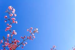 Wild Himalayan Cherry flower(Thailand's sakura or Prunus cerasoides) at Phu Lom Lo mountain, Loei , Thailand. Stock Images