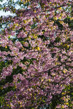 Wild Himalayan Cherry flower Stock Image
