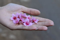 wild himalayan cherry flowers in hand Stock Image
