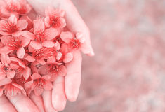 Wild Himalayan Cherry flowers on woman hands Royalty Free Stock Photography