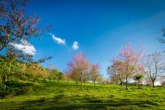 Wild Himalayan Cherry Garden Royalty Free Stock Image
