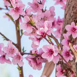 The Wild Himalayan Cherry at Gorges du Dades in Morocco Stock Photos