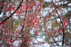 Wild Himalayan Cherry Stock Photography