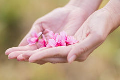Wild Himalayan Cherry on hands Royalty Free Stock Images