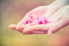 Wild Himalayan Cherry on hands Stock Photo