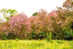 Wild himalayan cherry in Khunwang royal project development cent Royalty Free Stock Photos