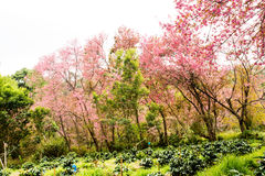 Wild himalayan cherry in Khunwang royal project development cent Stock Image