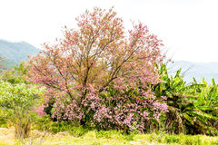 Wild himalayan cherry in Khunwang royal project development cent Royalty Free Stock Image