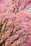 Wild himalayan cherry in Khunwang royal project development cent Stock Photo