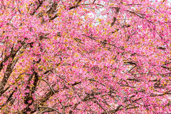 Wild himalayan cherry in Khunwang royal project development cent Royalty Free Stock Photography