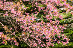 Wild himalayan cherry in Khunwang royal project development cent Stock Photography