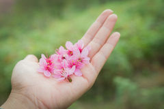 Wild Himalayan Cherry Petel On Hand. Wild Himalayan Cherry Blossoms in Phu Lom Lo Thailand Royalty Free Stock Photo