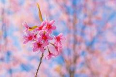 Wild Himalayan Cherry. Pink Wild Himalayan Cherry with blue sky Royalty Free Stock Image