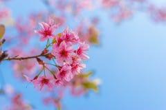 Wild Himalayan Cherry. Pink Wild Himalayan Cherry with blue sky Stock Images
