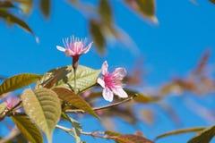 Wild Himalayan Cherry. Pink Wild Himalayan Cherry with blue sky Stock Photography