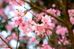 Wild Himalayan Cherry. The Pink flowers tree in Thailand named as Wild Himalayan Cherry Stock Images