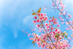 Wild Himalayan Cherry. The Pink flowers tree in Thailand named as Wild Himalayan Cherry Stock Photos