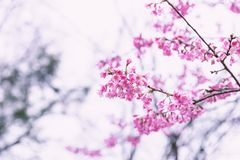 Wild himalayan cherry in pink tone Royalty Free Stock Photos