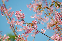 Wild Himalayan Cherry. Pink Wild Himalayan Cherry with yellow leaves and blue sky Stock Images