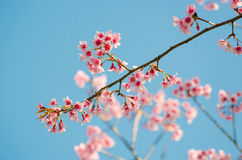 Wild Himalayan Cherry Stock Images