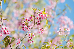 Wild Himalayan Cherry Royalty Free Stock Photos