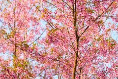 Wild Himalayan Cherry - Prunus Cerasoides - Flowers blossom queen tiger royalty free stock image