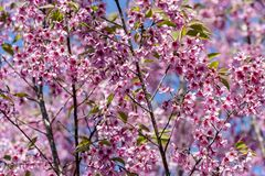 Wild Himalayan cherry Prunus cerasoides flowers in blue sky, T Royalty Free Stock Photo