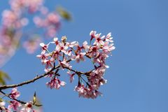 Wild Himalayan cherry Prunus cerasoides flowers in blue sky, T Royalty Free Stock Photography