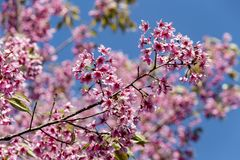 Wild Himalayan cherry Prunus cerasoides flowers in blue sky, T Royalty Free Stock Images