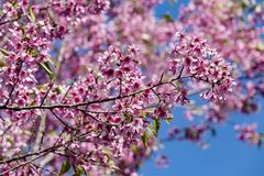 Wild Himalayan cherry Prunus cerasoides flowers in blue sky, T Royalty Free Stock Photos