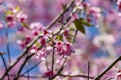 Wild Himalayan cherry Prunus cerasoides flowers in blue sky, T Stock Image