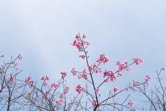 Wild Himalayan Cherry (Prunus cerasoides) Sakura of Thailand. Copy space Stock Image