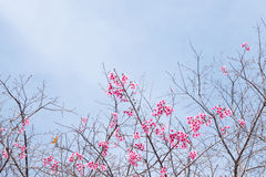 Wild Himalayan Cherry (Prunus cerasoides) Sakura of Thailand. Copy space Royalty Free Stock Images