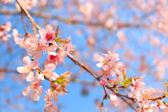 Wild Himalayan Cherry ( Prunus cerasoides ) ( Sakura in Thailand Royalty Free Stock Photo