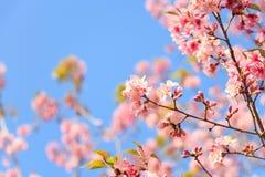 Wild Himalayan Cherry ( Prunus cerasoides ) ( Sakura in Thailand ) at Phu Lom Lo mountain , Loei , Thailand  ( blank area at left Stock Photos
