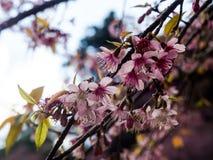 The Wild Himalayan cherry Prunus cerasoides. Royalty Free Stock Photo