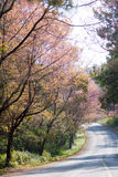 Wild Himalayan cherry road to Doi Ang Khang, Chiang Mai Royalty Free Stock Images