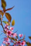 Wild Himalayan Cherry Sakura blossom border Royalty Free Stock Photography